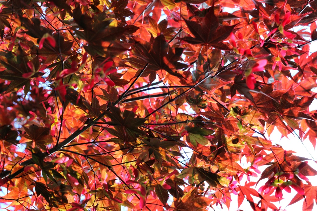 red hot maple